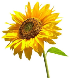sunflower-250x250